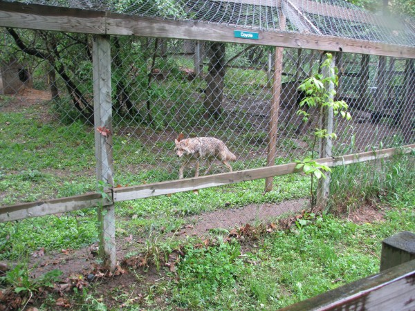 Kieran's 5th Grade Trip - Coyote