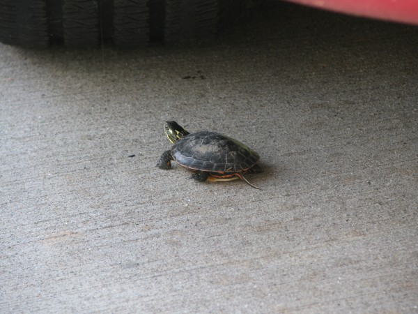 Baby Turtle in our Driveway 1